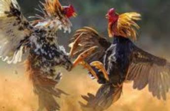 Agent Judi Sabung Ayam